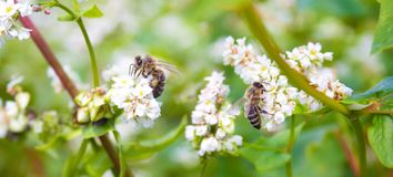 Field of common buckwheat. Landscape with cultivated crops plant, honey flower fagopyrum esculentum.Bees working of common buckwhe royalty free stock photos