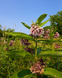 Field with Common mikweed. Common milkweed (Asclepias syriaca) in a sunny meadow. Milkweed is an important feed plant for the monarch butterfly. The larva of the royalty free stock image