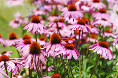 Field of coneflowers. Beautiful field of pink cone flowers, Echinacea purpurea, a medicinal plant Royalty Free Stock Photo