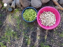 Field cooking- edible plants in bowels and  puts on the ground. Field cooking- edible plants in blue and pink bowels on the ground, olive oil in a Bottlen Stock Image