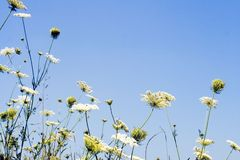 Field of cool white flowers Royalty Free Stock Images