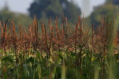 Field of Corn. Close-up of corn in a field during early autumn Royalty Free Stock Images