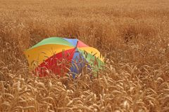 Field of corn. With an umbrella Royalty Free Stock Image