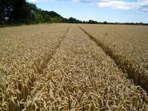 Field of Corn Stock Photos