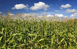 A field of corn Royalty Free Stock Photography