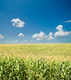 Field with corn Royalty Free Stock Photos
