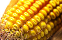 Field corn Royalty Free Stock Photo