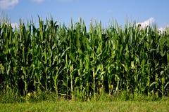 Field Corn Stock Photos