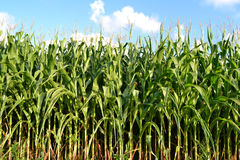 Field of corn. A green field of corn growing up Royalty Free Stock Photo