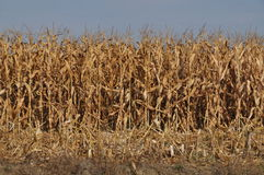 Field corn. Field of corn ready for the picking Royalty Free Stock Image