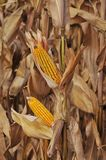Field corn. Field of corn ready for the picking Stock Image