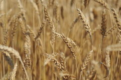 Field corn. A field of golden wheat in Vojvodina Stock Photography