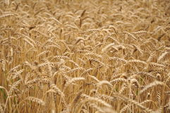 Field corn. A field of golden wheat in Vojvodina Royalty Free Stock Images