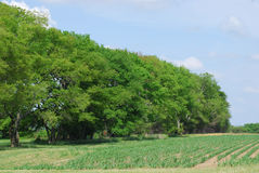 Field Corn. Rural Cornfield with Fence Row and Trees stock photography