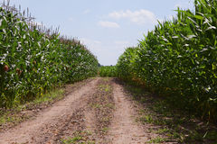 Field of corn Royalty Free Stock Photos