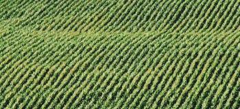 Field of corn Stock Image
