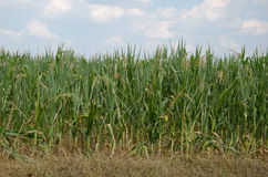 Field Corn Royalty Free Stock Images