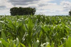 Field of Corn Royalty Free Stock Photo