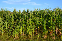 Field of corn. A green field of corn growing up Royalty Free Stock Image