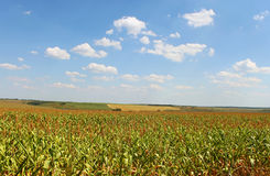 Field with corn Royalty Free Stock Images