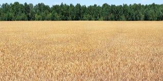 Free Field Corn Royalty Free Stock Photos - 28202208