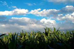 Field of corn stock photography