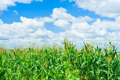 Field corn Stock Photo