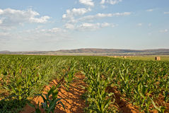 Field of corn. Image of corn crop field Royalty Free Stock Photography