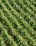 Field of Corn from Above Royalty Free Stock Photo