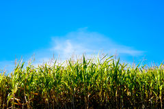 Field  corn against  sky. Field of corn against the sky Stock Image