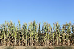 Field with corn Stock Image