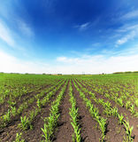 Field with corn Stock Photos