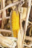 Field corn, agriculture Stock Photography