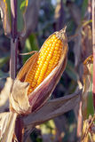 Field corn, agriculture Royalty Free Stock Image