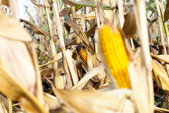 Field corn, agriculture Royalty Free Stock Photos