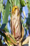 Field corn, agriculture Royalty Free Stock Photo