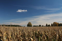 Field of corn in autumn Stock Image