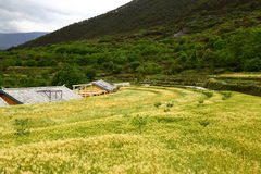 Field of Wheats at Baisuitai Royalty Free Stock Photos
