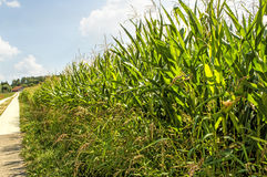 Field of corn Royalty Free Stock Images