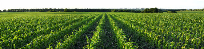 Field corn. Beautiful field corn. Russia. Panoram Royalty Free Stock Photo