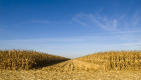 Field of corn being harvested Royalty Free Stock Image