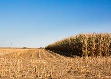 Field corn Royalty Free Stock Image