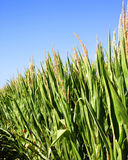 Field of corn with a blue sky Royalty Free Stock Images