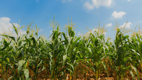 Field of corn Stock Images