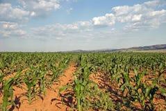 Field of corn crops Stock Photo