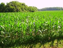 Field of Corn Royalty Free Stock Photography
