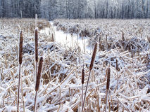 Field of corn dog in winter. Royalty Free Stock Image