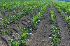 Field corn Stock Images