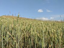 Field of corn , farming food outdoors country life crops. Harvest, summer royalty free stock photography