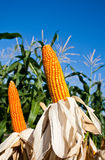 Field corn for feeding livestock. (livestock fodder Stock Photos